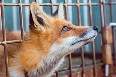 Fox in a cage looking up Stock Images