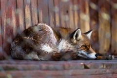 Fox in cage Royalty Free Stock Photos