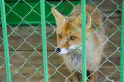 Fox. In a cage  sitting  in a cage Stock Photo
