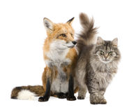 A Fox and a cat royalty free stock photos
