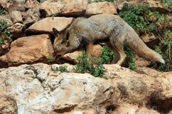 The Fox Royalty Free Stock Photo