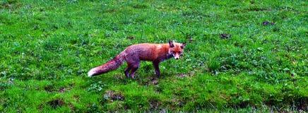 Fox in the centre of a green grassland Stock Photo