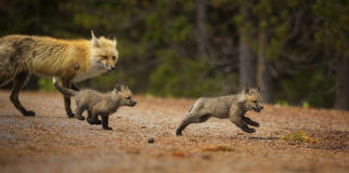 Fox Chase. Two fox kits playfully chase each other around their den while their mother watches. Taken in Grand Teton National Park, Wyoming Stock Images