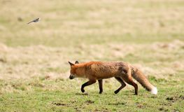 Fox chasing a bird. A red english fox running in field chasing a wagtail bird Stock Photo