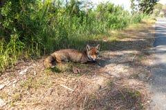 Fox che si trova sul bordo della strada Fotografia Stock Libera da Diritti