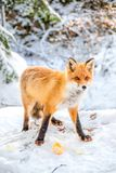 Fox and cheese royalty free stock images