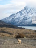 Fox chez Torres del Paine Photographie stock