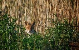 fox chubs stock photography
