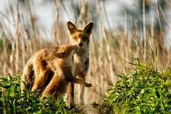 fox chubs royalty free stock photography