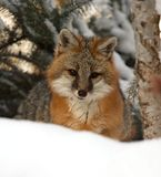 Fox cinzento Imagens de Stock Royalty Free