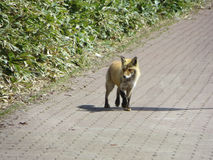 Fox in the city Royalty Free Stock Photography