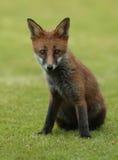 Fox ciucia Obrazy Stock