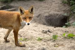 Fox in a clearing, a portrait stock photo