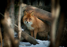 Fox close up looks at the camera Stock Photography