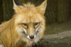 Fox close-up portrait. Foxes are small-to-medium-sized, omnivorous mammals stock photo