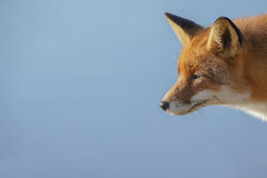 Fox closeup, copy space to the left Royalty Free Stock Photos