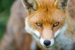 Fox. A closeup portrait of an European Fox Royalty Free Stock Images