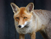 Fox Stock Photography