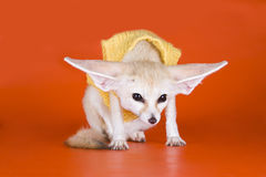 Fox on a colored background.  Royalty Free Stock Photos