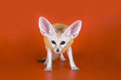 Fox on a colored background.  Stock Photography