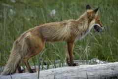 Fox con la preda Fotografia Stock Libera da Diritti