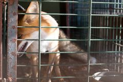 Fox contained in a small cage, cruelty to animals Stock Photography