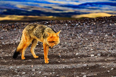 Wolf in Cotopaxi in Ecuador Royalty Free Stock Photo