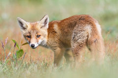 Fox in countryside. Side view of fox in green countryside field looking over shoulder Royalty Free Stock Image