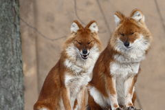 Fox couple. Couple of  foxes stay together sweetly Stock Image
