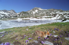 Fox and crocus. Fox on crocus field, wilderness of mountains Royalty Free Stock Photography