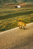A fox crossing a road. A fox which crosses a road Royalty Free Stock Images