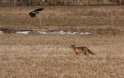 Fox and crow Stock Images