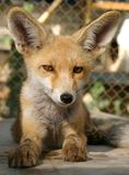 Fox cub stock photo