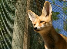 Fox cub. Standing in a cage at a  wildlife shelter Royalty Free Stock Images
