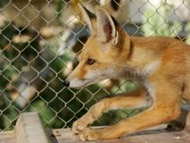 Fox cub Royalty Free Stock Images