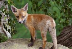 Fox Cub Stockfoto