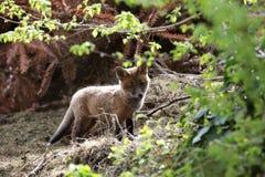 Fox cub. Stock Photos