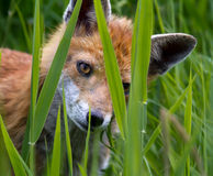 Fox Cub Imagem de Stock Royalty Free