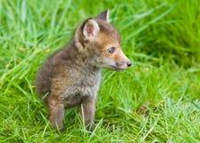 Fox Cub Fotografie Stock Libere da Diritti