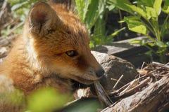 Fox cub closeup Stock Photography
