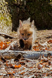 Fox Cub Front Stock Photo
