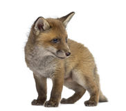 Fox cub in front of a white background Royalty Free Stock Image