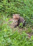 Fox Cub lost in the stinging nettle beds of Combe Valley in East Sussex, England stock images