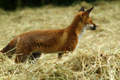 Fox Cub in a Hay Field Stock Images