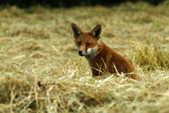Fox Cub in a Hay Field Royalty Free Stock Photos