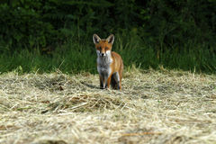 Fox Cub in a Hay Field Stock Image