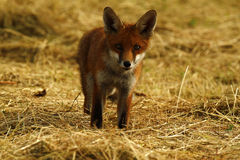 Fox Cub in a Hay Field Royalty Free Stock Images