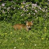Fox Cub Heaven Royalty Free Stock Photography