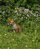 Fox Cub Heaven Stock Photos