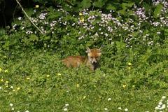 Fox Cub Heaven Royalty Free Stock Photos
